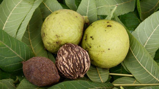 treating nail fungus with black walnut