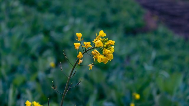 treat fungus with mustard
