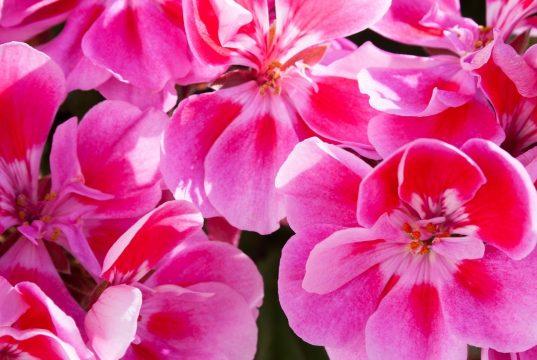geranium Oil for nail fungus