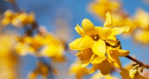 Forsythia for fungal infections