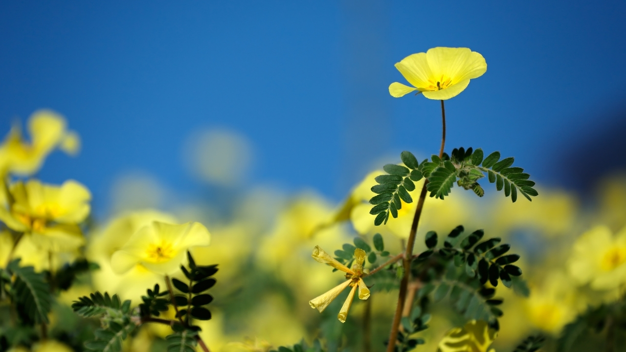 Tribulus for fungal infections